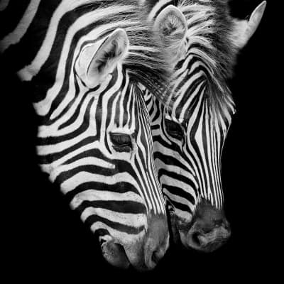 Vetro dipinto Zebra 43.5x43.5 cm