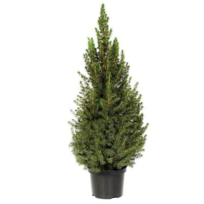 Albero Di Natale Vero.Albero Di Natale Vero H 150 180 Cm Prezzo Online Leroy Merlin